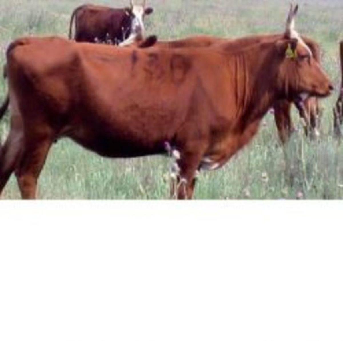 Калмыцкая порода – коровы, закаленные суровым климатом