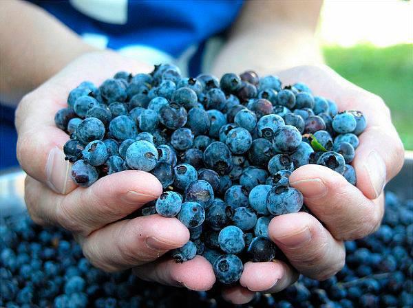 Голубика: польза и вред, полезные свойства и противопоказания
