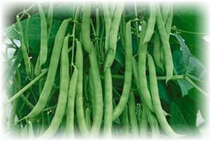 Спаржевая фасоль: лучшие сорта для открытого грунта