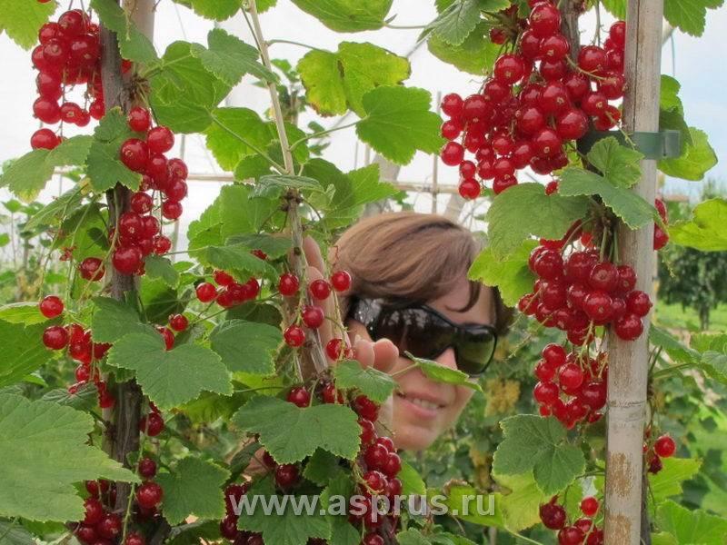 Сорт красной смородины ролан: плюсы и минусы