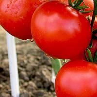 Сорта помидоров для ленинградской области