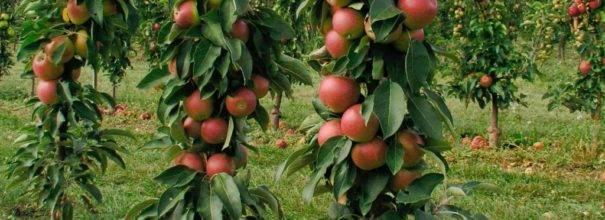 Сорт колоновидной яблони «васюган»: характеристика, агротехника выращивания