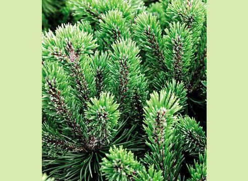 Как не повредить и пересадить сосну из леса на участок