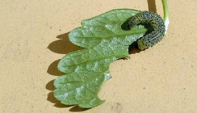 Что делать, если гусеницы на крыжовнике объели листья?
