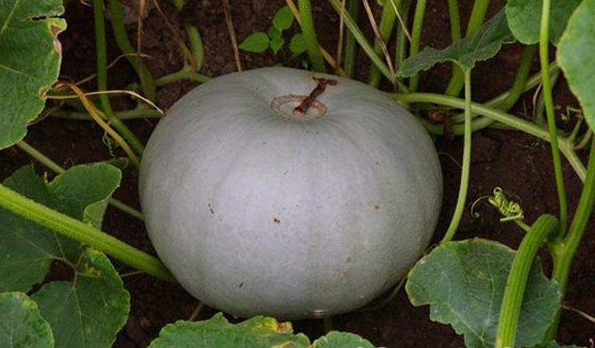Тыква «конфетка»: описание сорта, выращивание и уход, сроки созревания