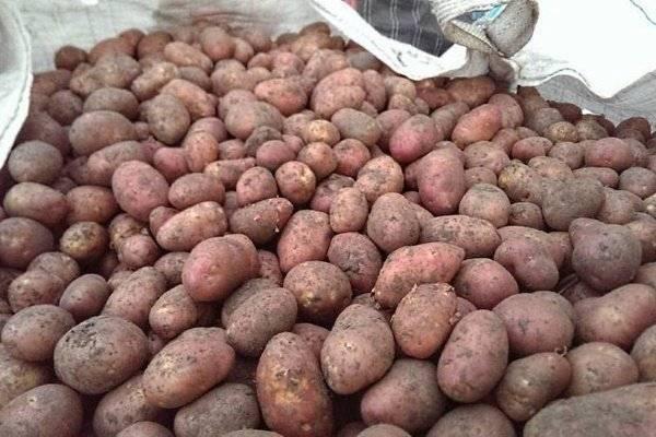 Описание сорта картофеля ильинский, его характеристика и урожайность