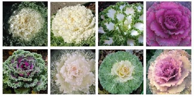Декоративная капуста. выращивание. фото