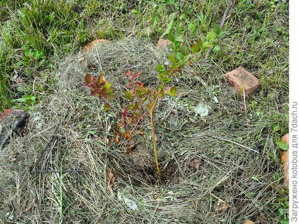 Состав почвы для садовой голубики