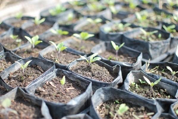 Выращивание баклажан в подмосковье — как посадить и вырастить семена