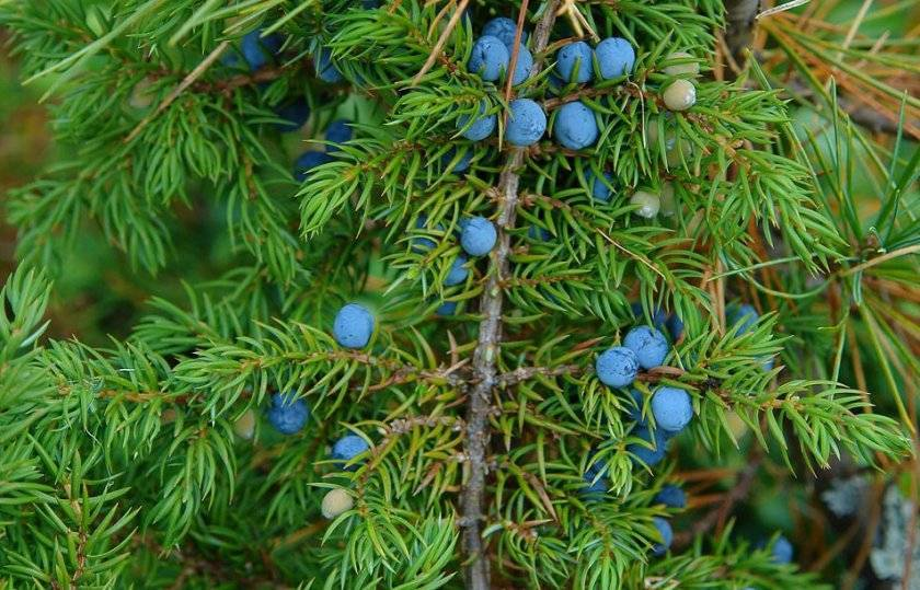 Туя — дерево жизни