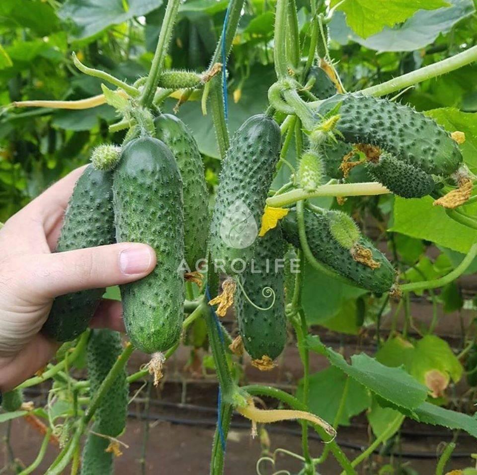 Голландский гибрид огурцов «барвина f1»: фото, видео, описание, посадка, характеристика, урожайность, отзывы