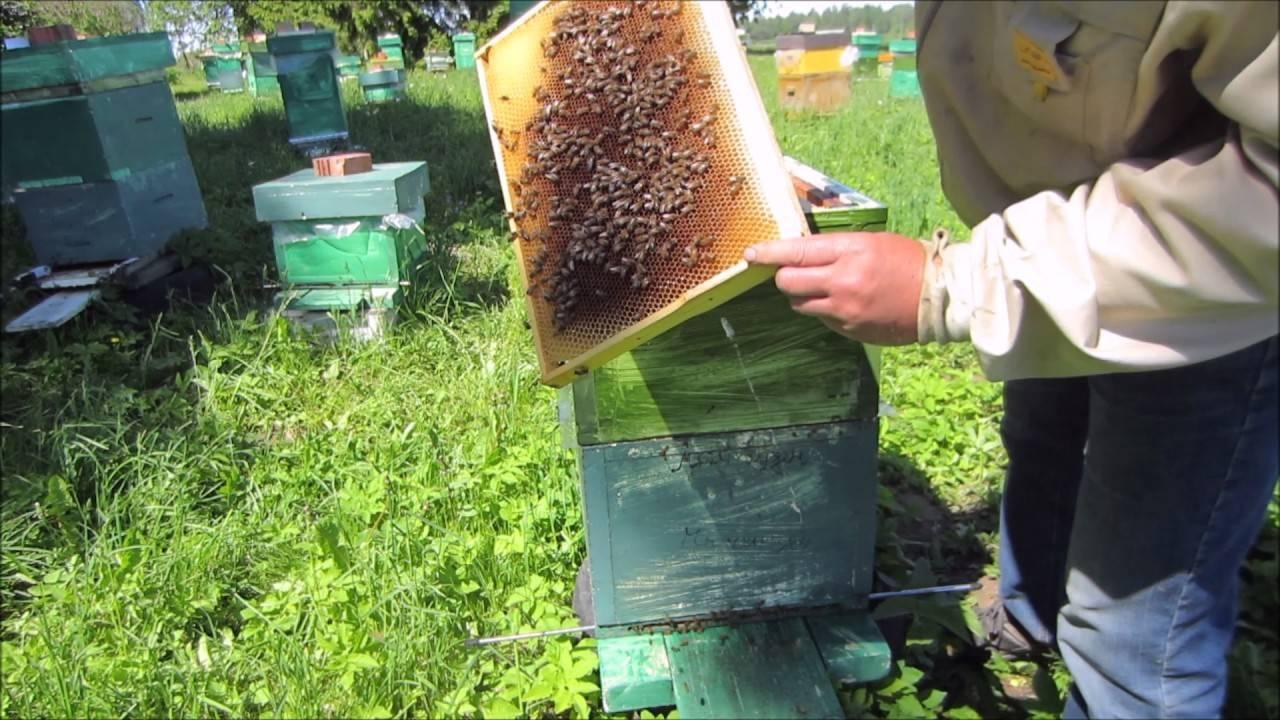Как вывести пчел из роевого состояния — способы