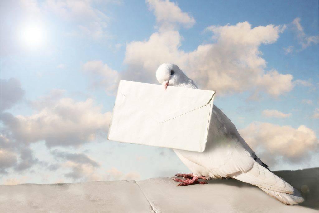 Почтовые голуби: как выглядят, как находят дорогу к адресату