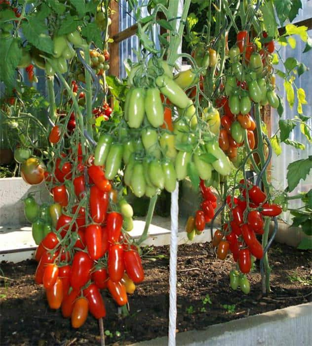Сорт томатов фляшен - описание и выращивание