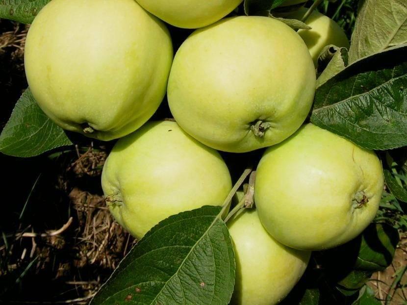 Известная яблоня белый налив