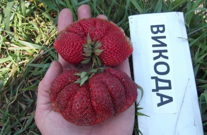 Суперклубника «вивара» входит в топ-5 по выносливости, урожайности и качеству плодов
