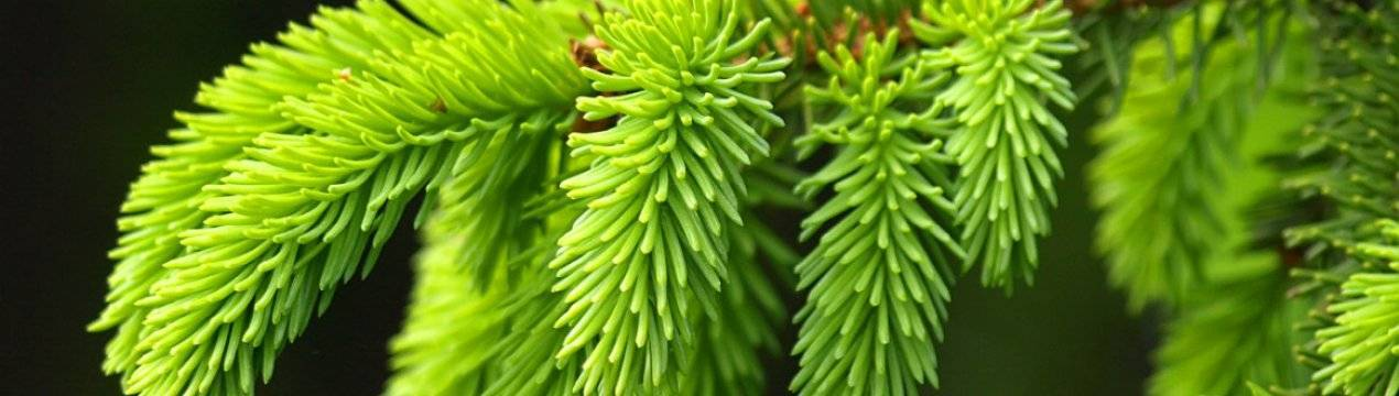 Пихта сибирская: свойства и применение в лечебных целях