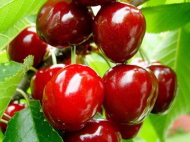 Описание вишни народной селекции сорта любская