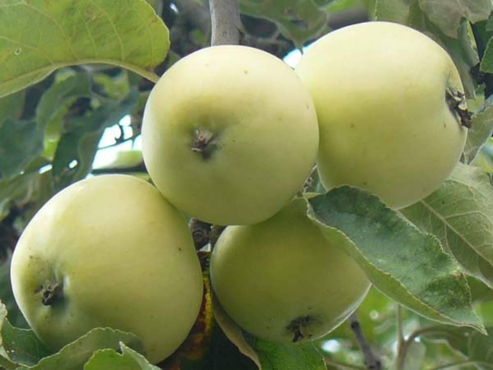 Яблоня белый налив или папировка: описание сорта
