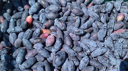Ягода жимолость польза и вред — ягоды грибы