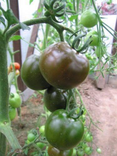 Описание сорта и характеристики помидоров кумато