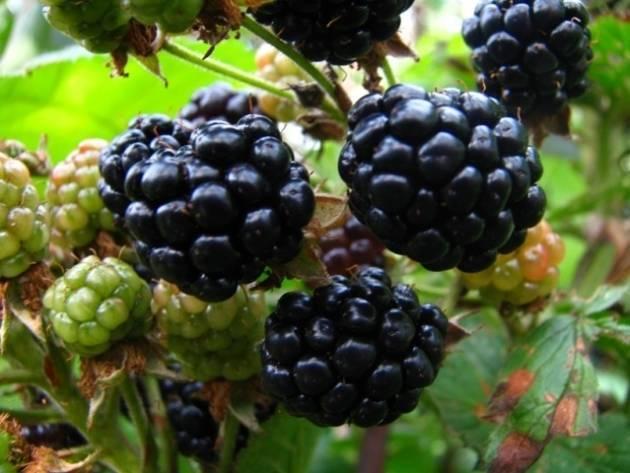 Черная малина кумберленд - моя дача - информационный сайт для дачников, садоводов и огородников