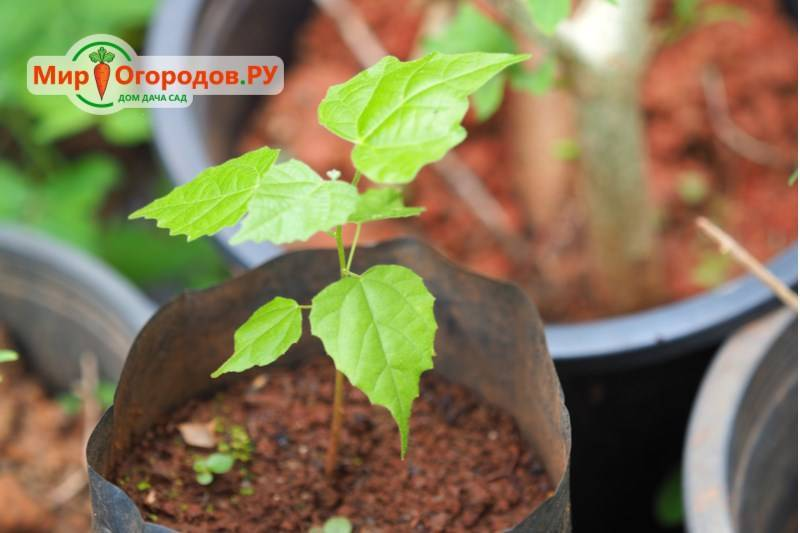 Размножение и выращивание шелковицы