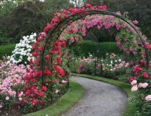 Как правильно подвязать плетистую розу к опоре?