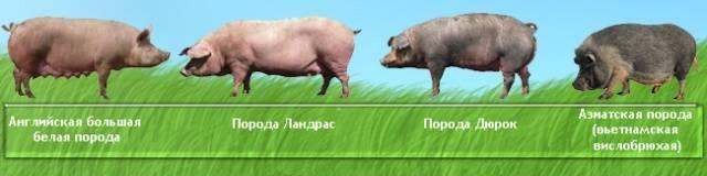 Статьи о племенном свиноводстве на piginfo | мясная порода свиней петрен