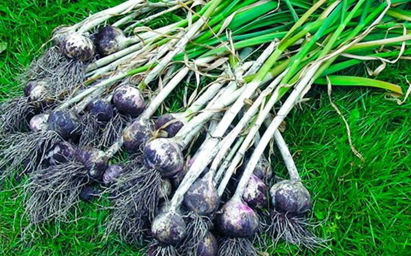 После чего (каких овощей) можно сажать чеснок на зиму