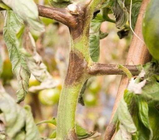 Болезнь черная ножка на рассаде томатов (помидор): меры борьбы и лечение заболевания