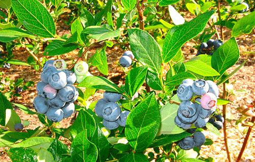 Голубика дюк — морозоустойчивый сорт раннего срока созревания