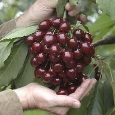 Обзор 9 лучших карликовых сортов вишни