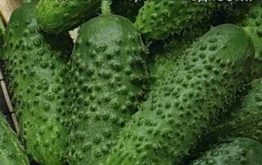 Сорт огурца «хабар»: яркий вкус и простота в уходе