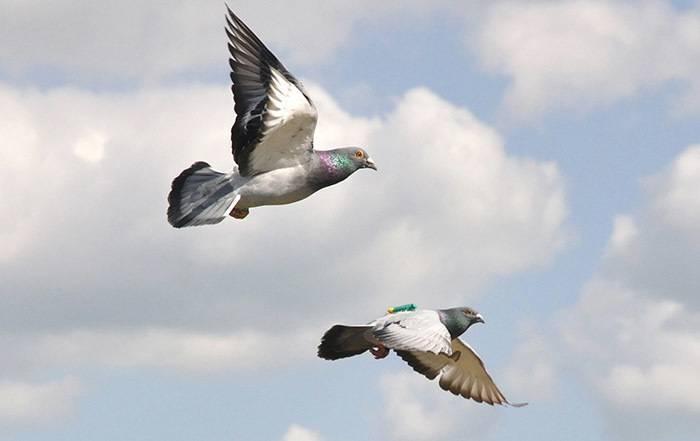 Принципы работы голубиной почты. как почтовые голуби находят адресата