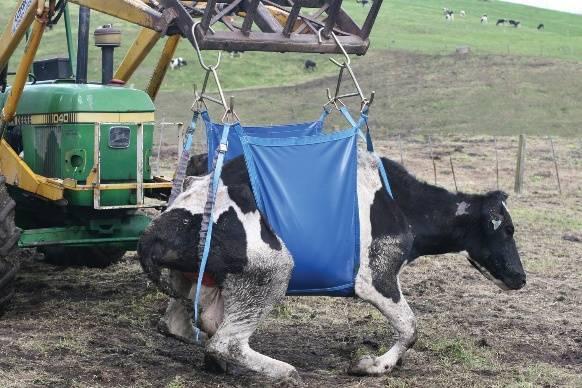 Корова не встает на ноги, что делать? причины, лечение