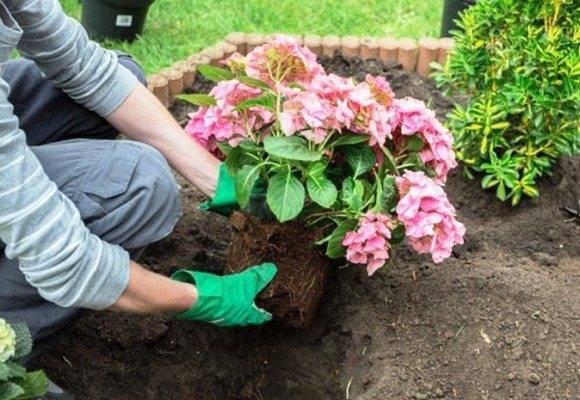 Как подкислить почву для гортензии — способы и пропорции