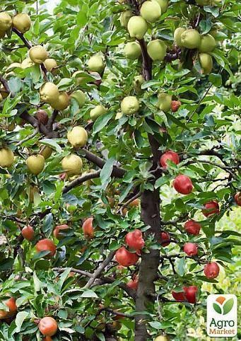 Сорт яблок голден делишес: описание сорта, посадка и уход | весьогород.ру
