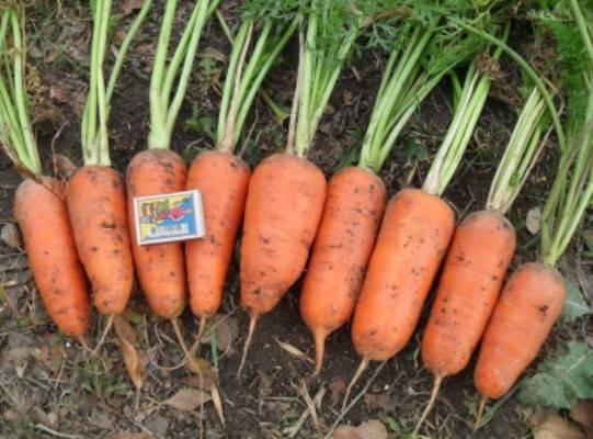 Морковь абако: описание и характеристика