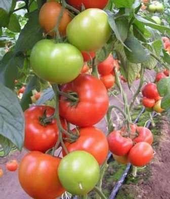 Сорта помидоров, устойчивых к фитофторозу - 25 лучших сортов!
