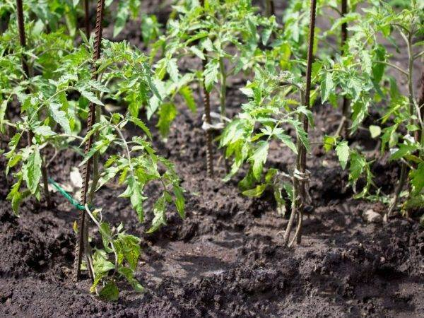 Томат с высоким званием: описание гибрида генерал f1, приемы выращивания, отзывы