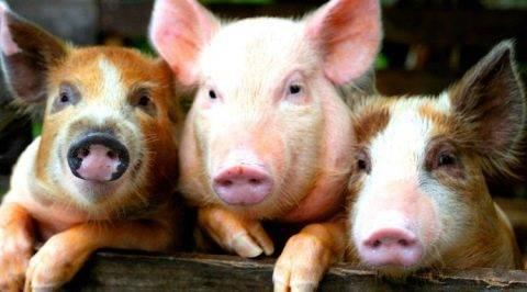 Содержание свиней в домашних условиях: пособие для начинающих