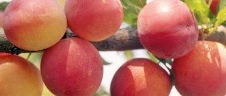 Особенности выращивания сливы аленушка