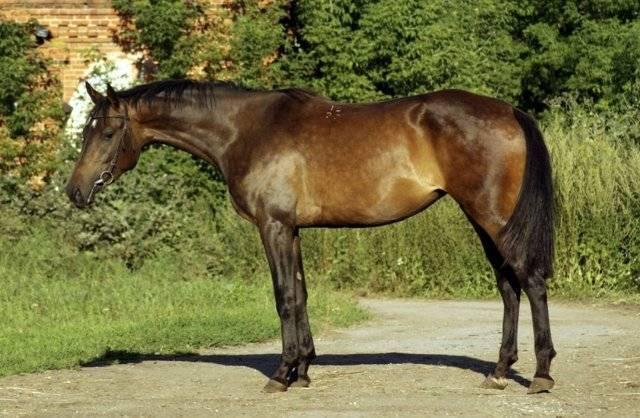 Верховые породы лошадей: описание и фото