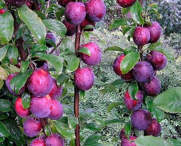 Слива колоновидная блю свит — описание сорта, фото, отзывы садоводов