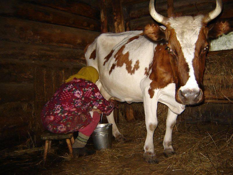 Как раздоить первотелку? способы раздоя родившей коровы
