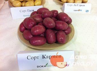 Снискавший популярность среди дачников всей страны — картофель красная роза: описание сорта и отзывы