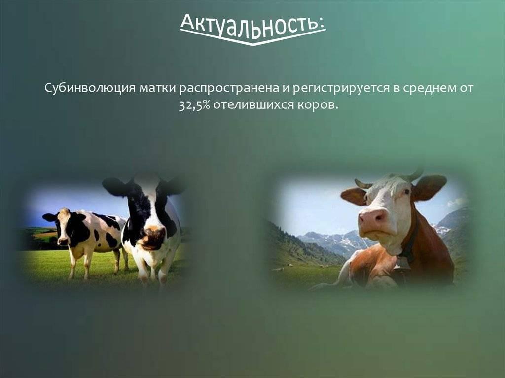 Распространённые гинекологические болезни коров