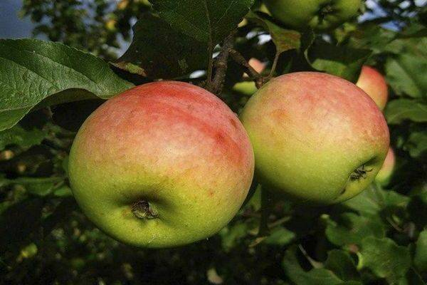 Северный синап: сорт яблок с фото и описанием | весьогород.ру