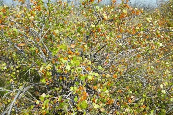 Дикая смородина – виды, описание и культивирование